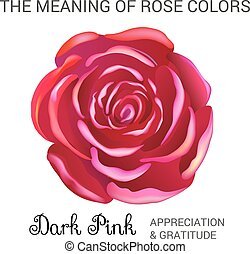 Dark pink rose infographics, vector illustration isolated on...