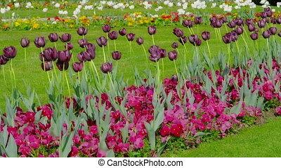 Dark purple tulips swaying in the wind. - Dark purple tulips...