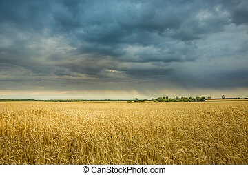 Dark rainy clouds in the sky over a field of grain