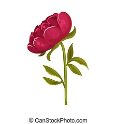 Dark red peony flower. Vector illustration on a white background.