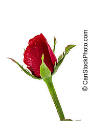 dark red rose with water drops isolated on white background