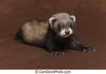 Dark sable young ferret baby laying in studio