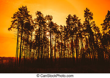 Dark Silhouettes Of Trunks And Crowns Of Trees On A Background O