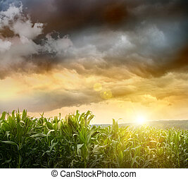 Dark skies looming over corn fields at sunset