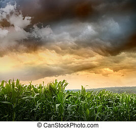 Dark skies looming over corn fields