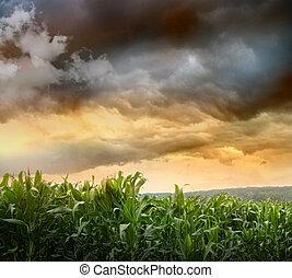 Dark skies looming over corn fields at sunset