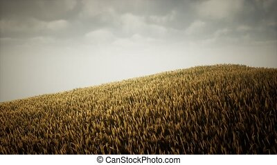 Dark stormy clouds over wheat field
