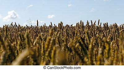 dark wheat ear