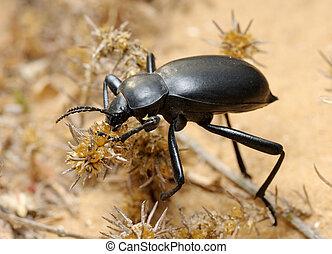 Darkling beetle in the desert, Israel