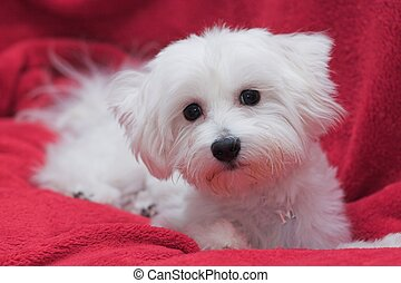 Darling Maltese - Pure white Maltese with a darling pose
