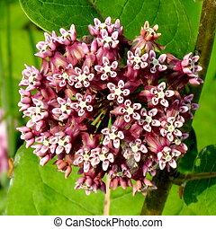 Darlington Park Milkweed flower 2015