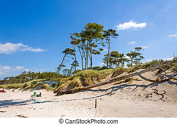 Darss Weststrand beach with the typical windswept trees