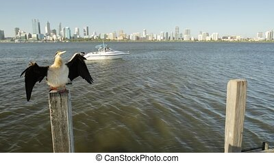 Darter with Perth cityscape - Australian Darter on a wooden...