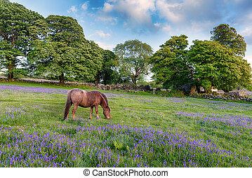 A Dartmoor pony grazing in a field of bluebells at Emsworthy on Darmoor National Park in Devon