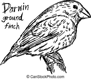 darwin ground finch on the tree - vector illustration sketch hand drawn with black lines, isolated on white background