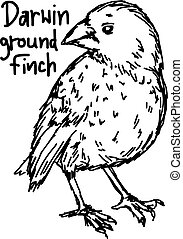 darwin ground finch - vector illustration sketch hand drawn with black lines, isolated on white background
