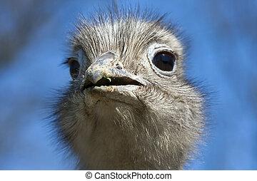 Darwin's rhea - Darwin's or lesser rhea (Pterocnemia pennata...