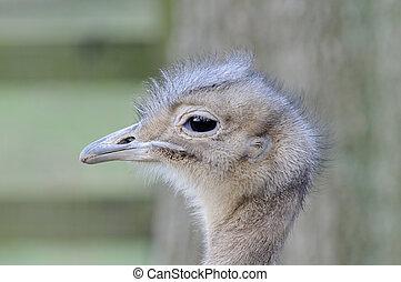 Darwins Rhea Profile - Closeup profile of darwins rhea head ...