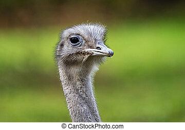 Darwin's rhea, Rhea pennata also known as the lesser rhea. ...