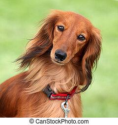 Dashund dog in a garden