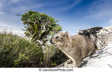 Picture shows a Dassie at the Table Mountain