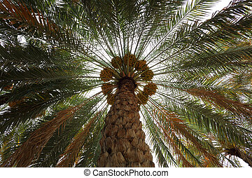 datare palmizio