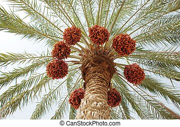 Date fruit tree from down