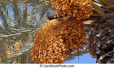 date palm   - Close-up view of date palm