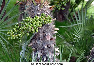 Date palm fruit