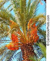 Date palm in Marrakesh
