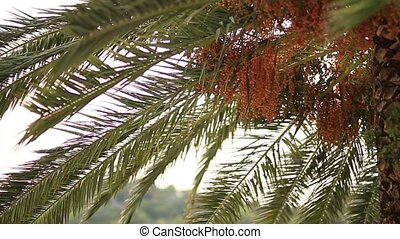 Date palm in Montenegro