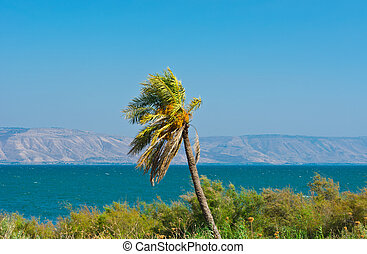 Sea of Galilee - Date Palm on the Shore of the Sea of...