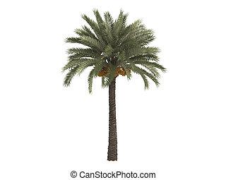 Date palm or Phoenix dactylifera - Date palm or latin...