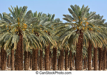Date Palm Plantation - Dead Sea, Israel - Plantation of palm...