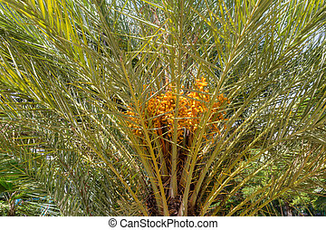 Date palm - Phoenix dactylifera, also known as date palm,...