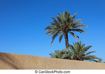 Date palm tree. Bunch of fruit