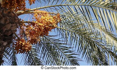 Date palm tree - Date palm over blue sky on a sunny summer...