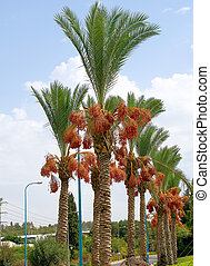 Date palm tree - The ripened fruits on a date palm tree.