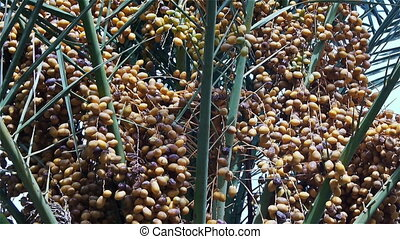 Date-palm with yellow fruits, close-up