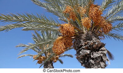 date palms   - Date palms over blue sky