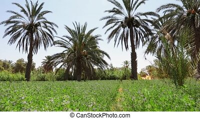 date palms shooting from lower angle. Full HD