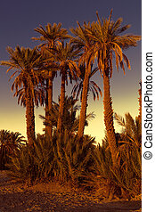 Date palmtrees with sunset in Marocco, Africa