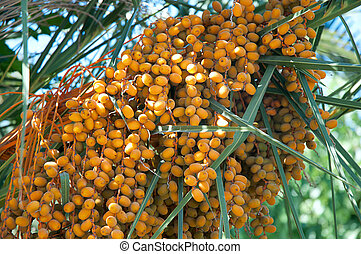 Dates on a palm tree .