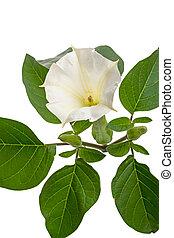 Datura flowers on white