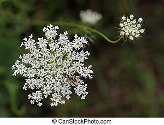 daucus carota, wildflower