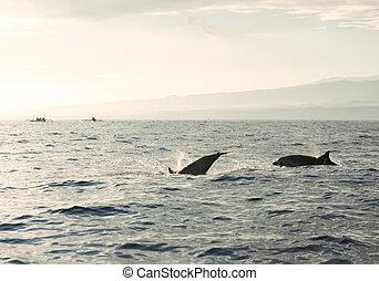 dauphins, océan pacifique