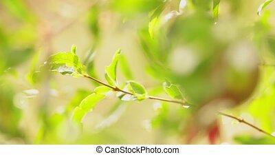 dauw, op, groene, twig., selectieve nadruk, met, ondiep,...