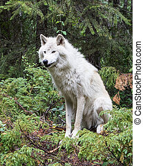 Dave 7062 - Grey wolf in the mountains near Golden, British...