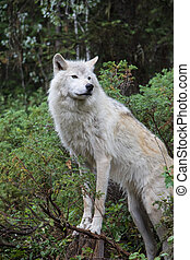 Dave 7106 - Grey wolf in the mountains near Golden, British...
