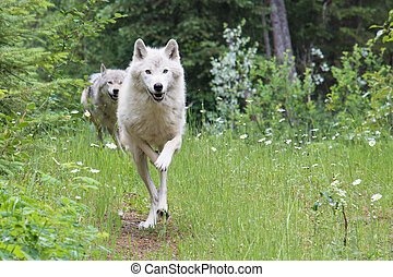 Dave 7244 - Grey wolf in the mountains near Golden, British...